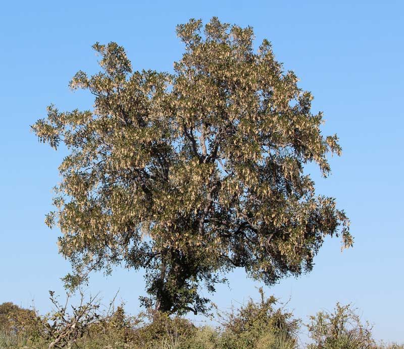 An Africa blackwood tree.